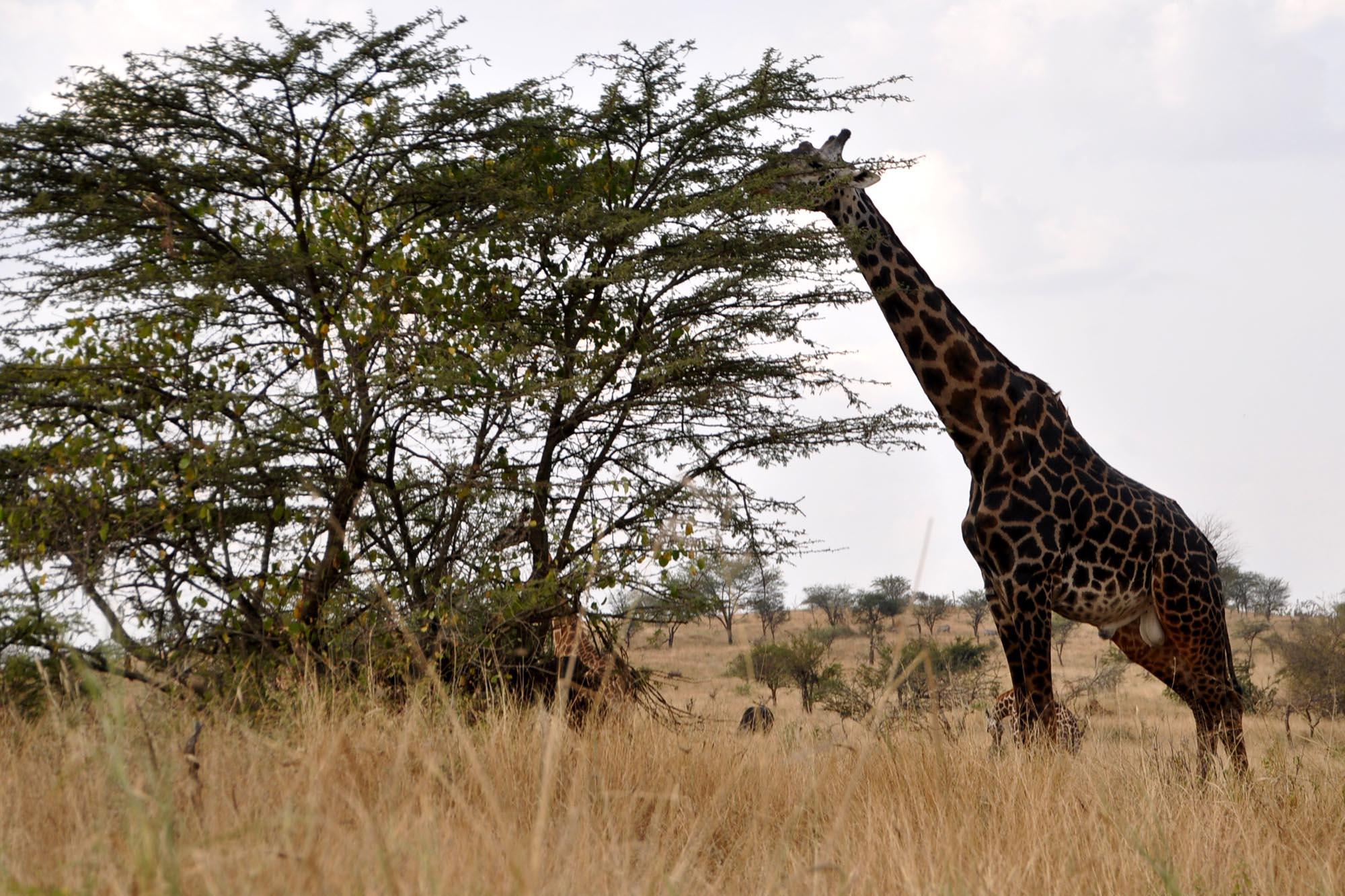 Giraf Afrika