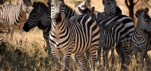 Zebra Tanzania