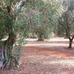 Olijfboom in Puglia