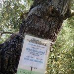 Onze olijfboom