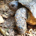 Schildpad in Griekenland
